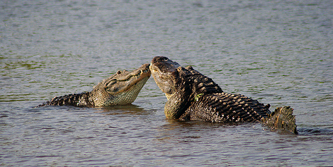 Fact: Gators are very competitive about jaw-size