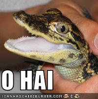 Lol gator hatchling